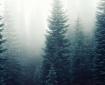 firs fog foggy forest mist misty mysterious trees
